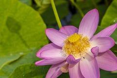 一朵莲花 免版税库存图片
