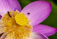 一朵莲花 库存图片