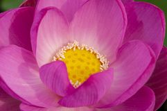 一朵莲花 免版税图库摄影