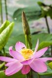 一朵莲花 图库摄影