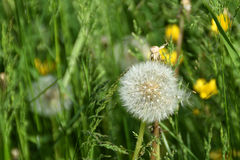 一朵蒲公英花在一个晴朗的夏日 免版税库存图片