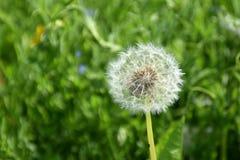 一朵蒲公英花在一个晴朗的夏日 库存照片