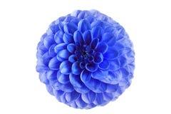 一朵蓝色大丽花的花在白色背景的 免版税库存照片