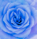 一朵蓝色玫瑰花的特写镜头细节 库存图片