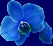 一朵蓝色的兰花喜欢夜 库存图片