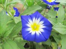 一朵蓝色花在庭院里 旋花植物和绿色叶子 免版税库存图片