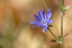 一朵蓝色花的宏观射击在秋天 免版税库存照片