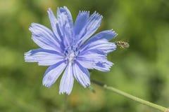 一朵蓝色苦苣生茯花的特写镜头在室外的绿草的 免版税库存图片