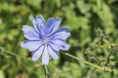一朵蓝色苦苣生茯花的特写镜头在室外的绿草的 图库摄影