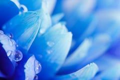 一朵蓝色菊花的宏指令 免版税库存照片