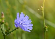 一朵蓝色野花的特写镜头照片 库存图片