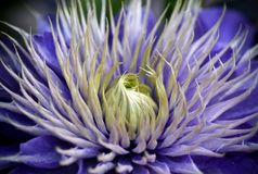 一朵蓝色铁线莲属花 免版税库存照片