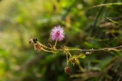 一朵蓟野花的特写镜头照片在领域的 库存照片