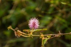 一朵蓟野花的特写镜头照片在领域的 库存图片