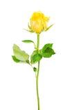 一朵被分离的黄色玫瑰。 库存照片