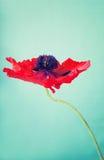 一朵被打开的红色鸦片花 库存照片