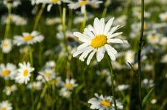 一朵被聚焦的雏菊我小组 图库摄影