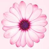 一朵被隔绝的桃红色海角延命菊雏菊花 免版税图库摄影