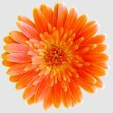 一朵被隔绝的橙色大丁草Germini花 免版税库存照片