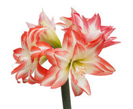 一朵被隔绝的红色和白色镶边孤挺花的特写镜头 库存照片