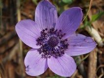 一朵被隔绝的紫色花在春天 库存照片