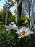 一朵装饰庭院种类牡丹花的宏观照片与双重瓣的开花颜色白色树荫  库存照片