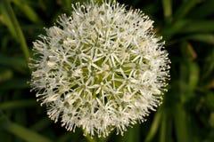 一朵装饰花的白绿的球 免版税库存照片