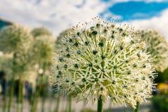 一朵装饰花的白绿的球 库存照片