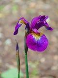 一朵装饰虹膜花的宏观照片背景纹理与紫色瓣的 免版税库存图片