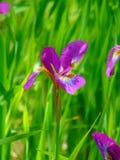 一朵装饰虹膜花的宏观照片背景纹理与紫色瓣的 库存图片