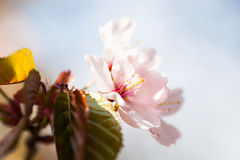 一朵软的桃红色佐仓花的宏观看法 库存图片