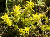 一朵野花的宏指令:Sedum rubrotinctum 免版税库存图片