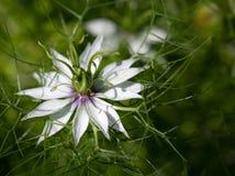 一朵野花的Macrophotography - Nigella damascena 免版税库存照片