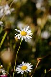 一朵野花雏菊在草甸 库存图片