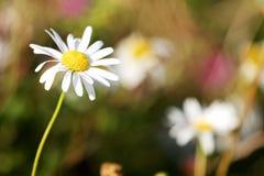 一朵野花雏菊在草甸 免版税库存照片
