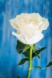 一朵陈旧的白色玫瑰 免版税库存图片