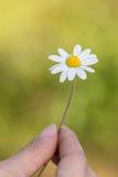 一朵雏菊在她的手上 免版税库存图片