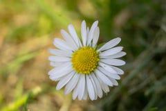 一朵雏菊在庭院里春天 免版税库存照片