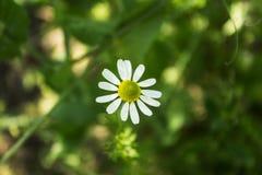 一朵雏菊在庭院里 免版税图库摄影