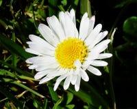 一朵雏菊在春天太阳 库存图片