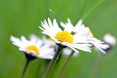 一朵雏菊在春天 免版税库存图片