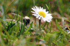 一朵雏菊在春天 库存图片
