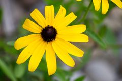 一朵雏菊的特写镜头与黄色瓣的 免版税库存照片