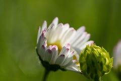 一朵雏菊的特写镜头有被弄脏的背景 库存图片