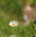 一朵雏菊的特写镜头与蜂的 库存图片