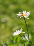 一朵雏菊的特写镜头与蜂的 图库摄影