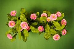 一朵雏菊的顶视图在绿色背景的 库存照片