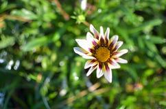 一朵雏菊花从上面 库存照片