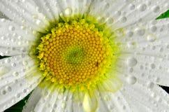 一朵雏菊花的特写镜头用水滴下 图库摄影