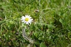 一朵雏菊花的细节在绿草的 库存照片